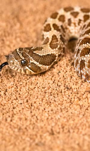 An Initial Estimate toward Identifying and Numbering Extant Tuatara, Amphisbaena, and Snake Kinds