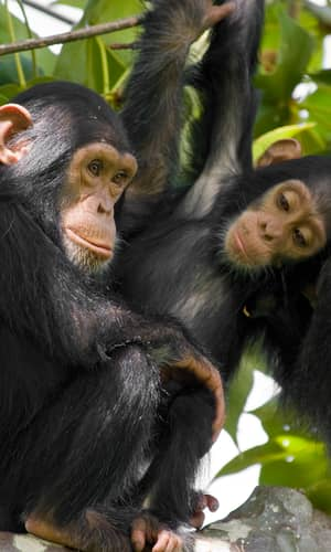 How Genomes are Sequenced and Why it Matters: Implications for Studies in Comparative Genomics of  Humans and Chimpanzees