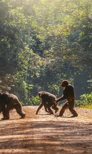 Genome-Wide DNA Alignment Similarity (Identity) for 40,000 Chimpanzee DNA Sequences Queried against the Human Genome is 86–89%