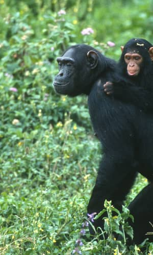 """Response to Comments on """"How Genomes are Sequenced and Why it Matters:  Implications for Studies in Comparative Genomics of  Humans and Chimpanzees"""""""