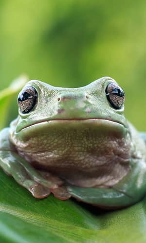 An Initial Estimate Toward Identifying and Numbering the Frog Kinds on the Ark: Order Anura