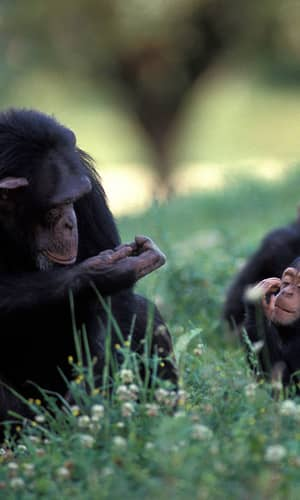 Documented Anomaly in Recent Versions of the BLASTN Algorithm and a Complete Reanalysis of Chimpanzee and Human Genome-Wide DNA Similarity Using Nucmer and LASTZ