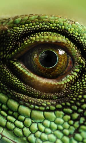 An Initial Estimation of the Numbers and Identification of Extant Non-Snake/Non-Amphisbaenian Lizard Kinds: Order Squamata